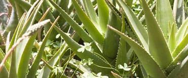 L'Aloe vera est très riche en éléments nutritifs et possède de nombreuses propriétés médicinales