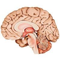 La forme du cerveau ressemble étroitement à celle des intestins